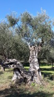 Centennial olive trees2