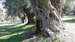 Centennial olive trees3