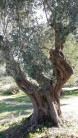 Centennial olive trees6