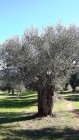 Centennial olive trees7