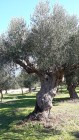 Centennial olive trees8
